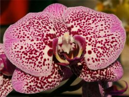 Orchid Show Feb2011 4 by panda69680102