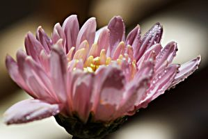 close-up of pink chrysanthemum flower by a6-k