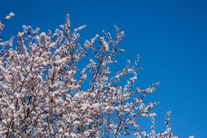 Cherry Blossoms 3 by KariLouMc