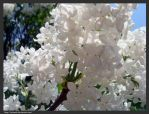 blooming lilacs by Roumek