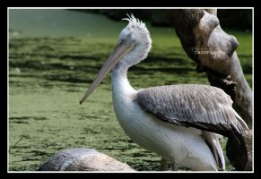 proud pelican by declaudi