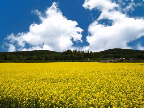 Yellow field by RobinHedberg