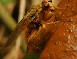 Common yellow dung fly by webcruiser