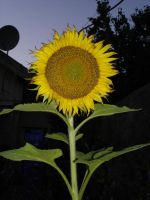 Sunflower - 01 by LunaNYXstock
