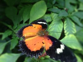 Orange and Black Butterfly by SteamPixy