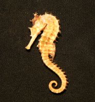 Seahorse 02 by jaded-reflection