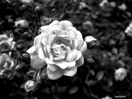 Black and White Rose by dazzleflash