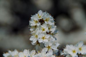 Whitethorn Blossom.. by WelshDragonStockNArt