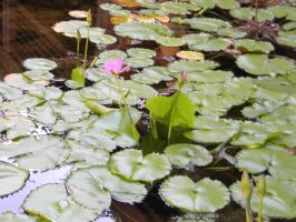 Lilypads by Writer4Him