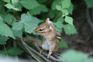Chipmunk in the Forest by ryanhacking