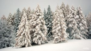 Larches by rdalpes