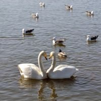 Swan Love by pvf
