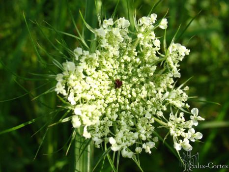 Queen Anne's Lace by Salix-Cortex