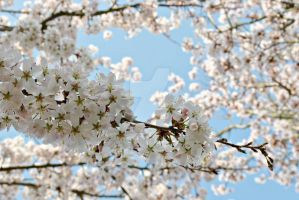 Spring Cherry Blossoms by AhnaDee