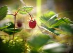 Wild Strawberry by Sixo