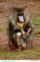 Momma Mandrill by In-the-picture