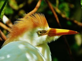 Cattle Egret by WildsidePhotos