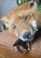 Red Fox wip by Tricksters-Taxidermy