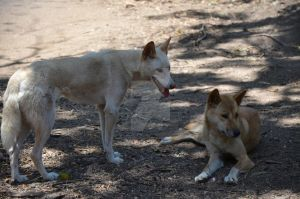 Dingos by SGreavesPhotography