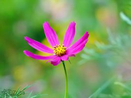 pink Cosmos by efeline