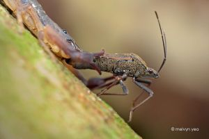 Scorpion eating Stink bug by melvynyeo