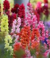 Rainbow of Snapdragons by debgay
