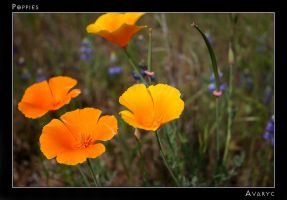 California Poppies by Avaryc