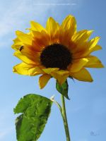 sunny sunflower by ilura-menday-less