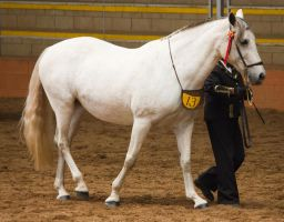 STOCK - 2014 Andalusian Nationals-158 by fillyrox