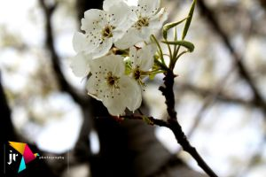 Tree flowers. by LaCandida