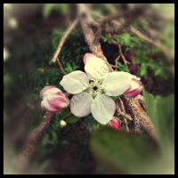 Apple Blossom by ravenaudron