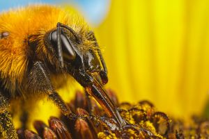Feeding Bumblebee on a Sunflower III by dalantech