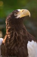 Steller's Eagle 8658 by robbobert