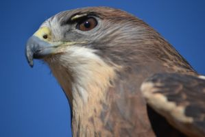 Hawk - 4 by Silver-Stock-Images