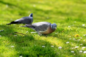 mirrored lonesome pigeon by pagan-live-style
