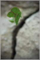 Drought... A young flower... by Viand