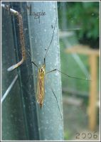-Spotted Crane Fly- by magickmagpie