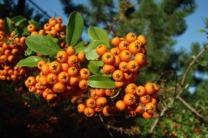 orange berries by asaph70