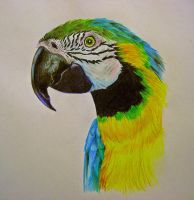 Parrot Drawing by Jessieja