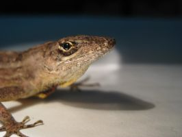 Brown Anole by Icearstorm