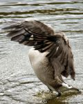 Canada Goose 7495 by GhostInThePines