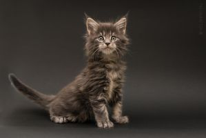 Maine-coon kittens 7 by Kelshray-photo