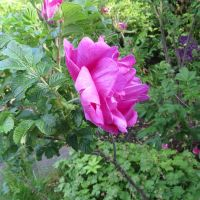 Roses 26th of June 2015 5 by Kattvinge