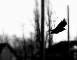 Crow by lnphotography