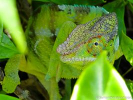 Chameleon by kitty974