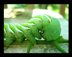 The Hungry Little Caterpillar by kataimiko