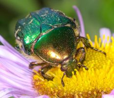 Much love for the Green Rose Chafer by Vitaloverdose