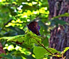 Cacapon Butterfly by znkf0908