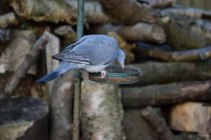DSC 0004 Wood Pigeon 1 by wintersmagicstock