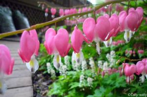 Pink Bleeding Hearts by Cally-wally
